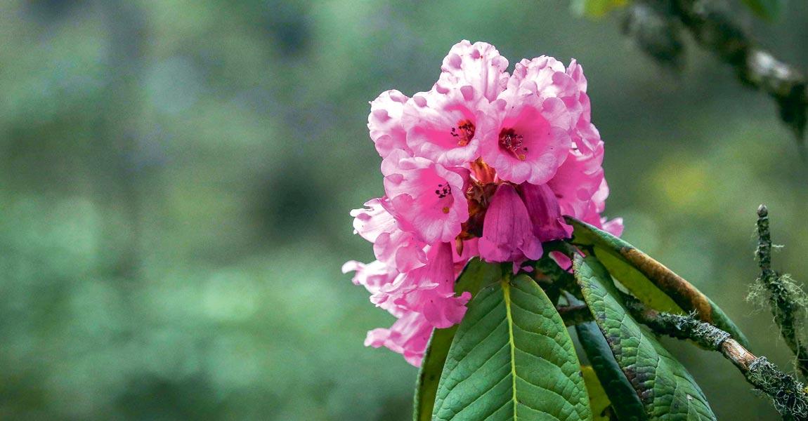 Rhododendron-Flower_20200312062510